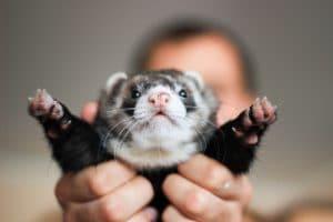 Fret: bijzonder en veelzijdig dier